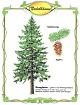 Die Douglasie - Nadelbaum