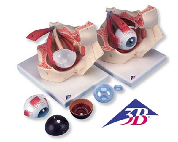 Auge in Augenhöhle, 3-fache Größe, 7-teilig
