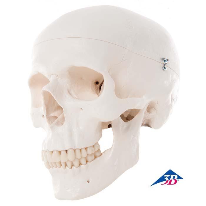 Klassik Schädel, 5500155 • Biologie --> Anatomie-Mensch --> Bau und ...