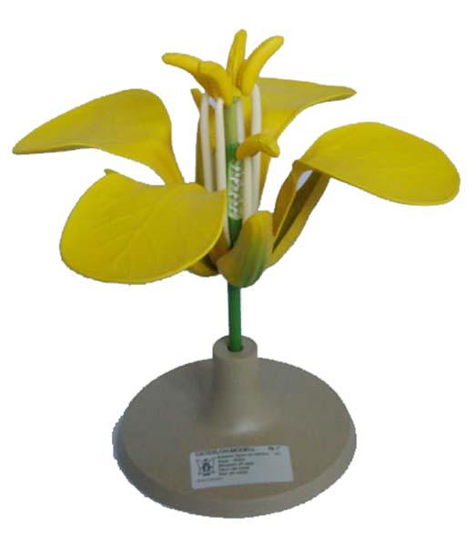 Raps, Ölraps-Blüte - Pflanzenmodell