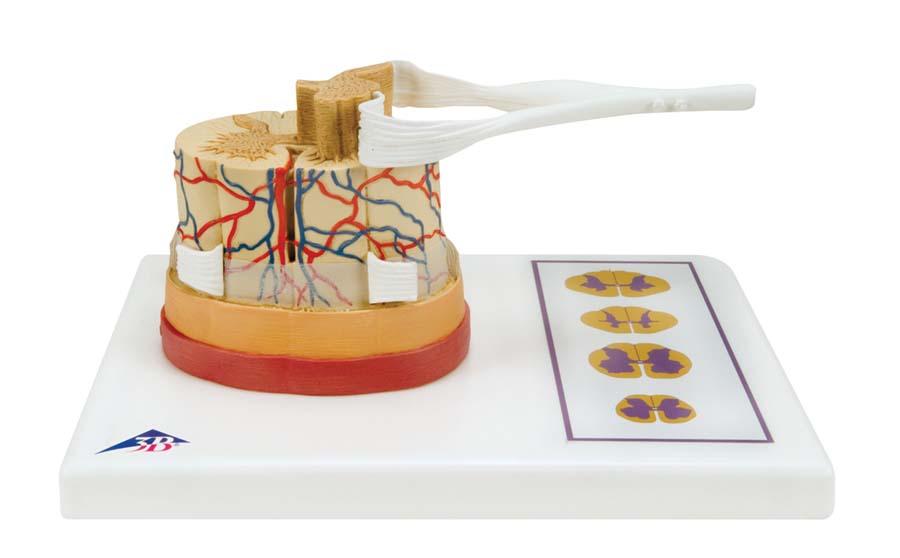 Rückenmark mit Nervenenden, 5500216 • Biologie --> Anatomie-Mensch ...