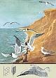 Lehrtafel - Lachmöve und der Vogelflug