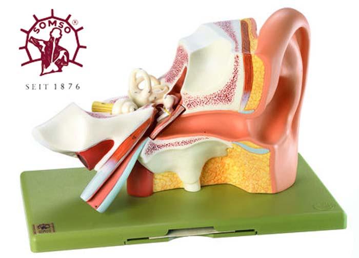 Ohrmodell - Gehörorgan