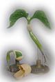 Bohne - Keimung in 2 Modellen - Pflanzenmodell