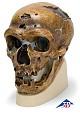 Schädelreplikat Homo neanderthalensis
