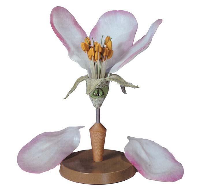 Apfelbaum-Blüte - Pflanzenmodell