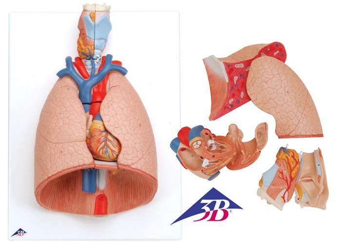 Lunge mit Kehlkopf, 7-teilig