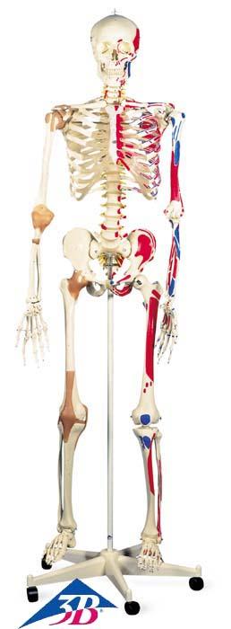 Skelett Sam - Luxusversion