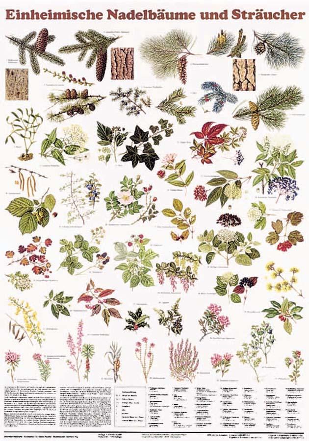 Naturtafel - Einheimische Nadelbäume und Sträucher