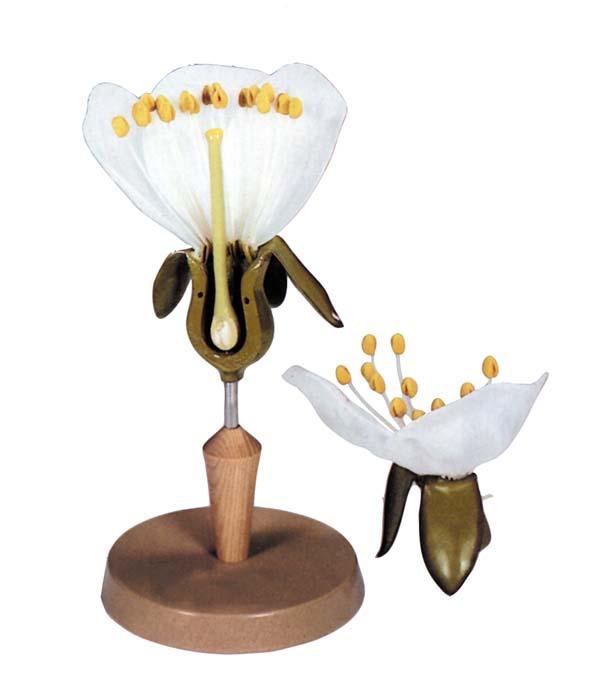 Kirschbaum-Blüte - Pflanzenmodell