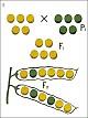Lehrtafel - Monohybride Kreuzung- Erbsenkreuzung