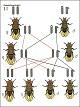 Lehrtafel - Geschlechtsbedingte Vererbung Drosophila I