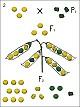 Lehrtafel - Dihybride Kreuzung-Erbsenkreuzung