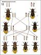 Lehrtafel - Geschlechtsbedingte Vererbung Drosophila II