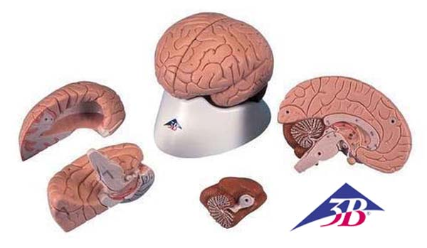Gehirn, 4-teilig