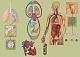 Lehrtafel - Atmung und Blutkreislauf