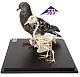 Tierskelett - Taube und Taubenskelett