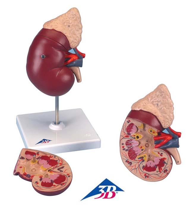 Niere mit Nebenniere, 2-teilig