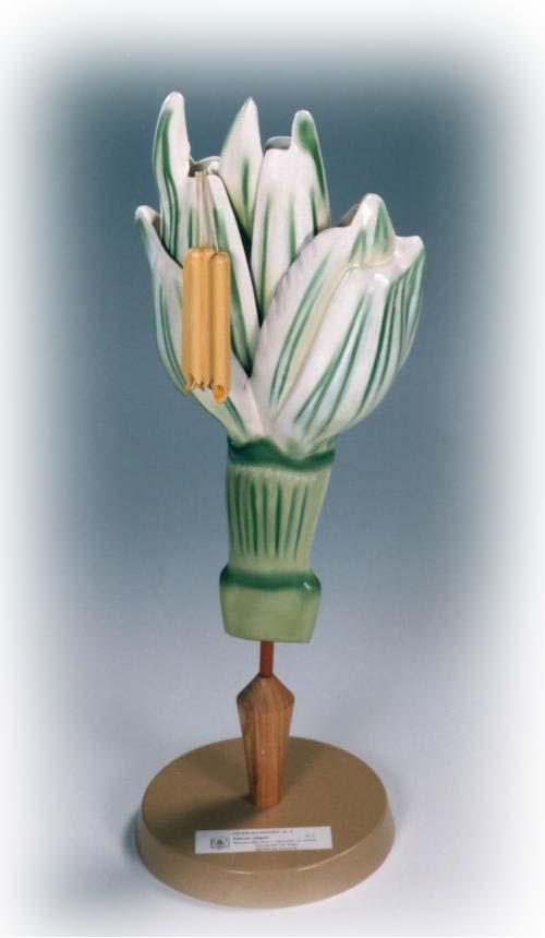 Weizen - Ährchen - Pflanzenmodell