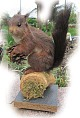 Eichhörnchen - Tierpräparat
