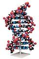 Riesen DNA Modell