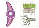 Präparate - Wirbellose Tiere (Invertebrata)