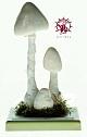 Pilzmodell - Weißer Spitzhütiger Knollenblätterpilz