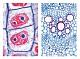 Präparate - Die Pflanzenzelle (Cytologie)