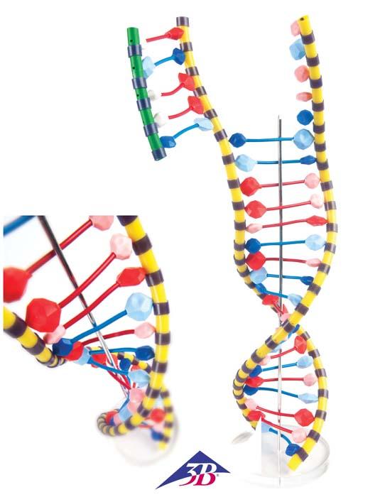 Dna Doppelhelix Modell Flex Modell 5505670 Biologie