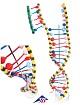 DNA-Doppelhelix-Modell, Flex-Modell