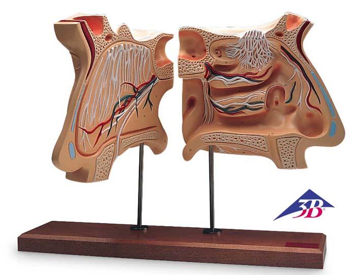 Nase und Riechorgan, 4-fache Größe, 5507970 • Biologie --> Anatomie ...