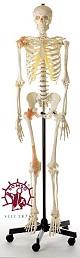 Künstliches Homo-Skelett mit Gelenkbänder