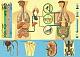 Lehrtafel - Stoffwechsel, Ausscheidung und Wasserhaushalt