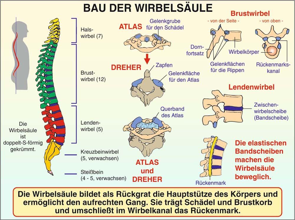 Körper (Biologie)